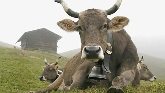 Gps al posto dei campanacci per le vacche. E' polemica