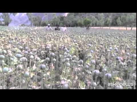 Nel 2014 record della coltivazione d'oppio in Afghanistan