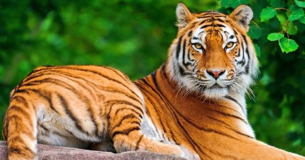 Imprenditore cinese acquista e mangia tigri: condannato a 13 anni