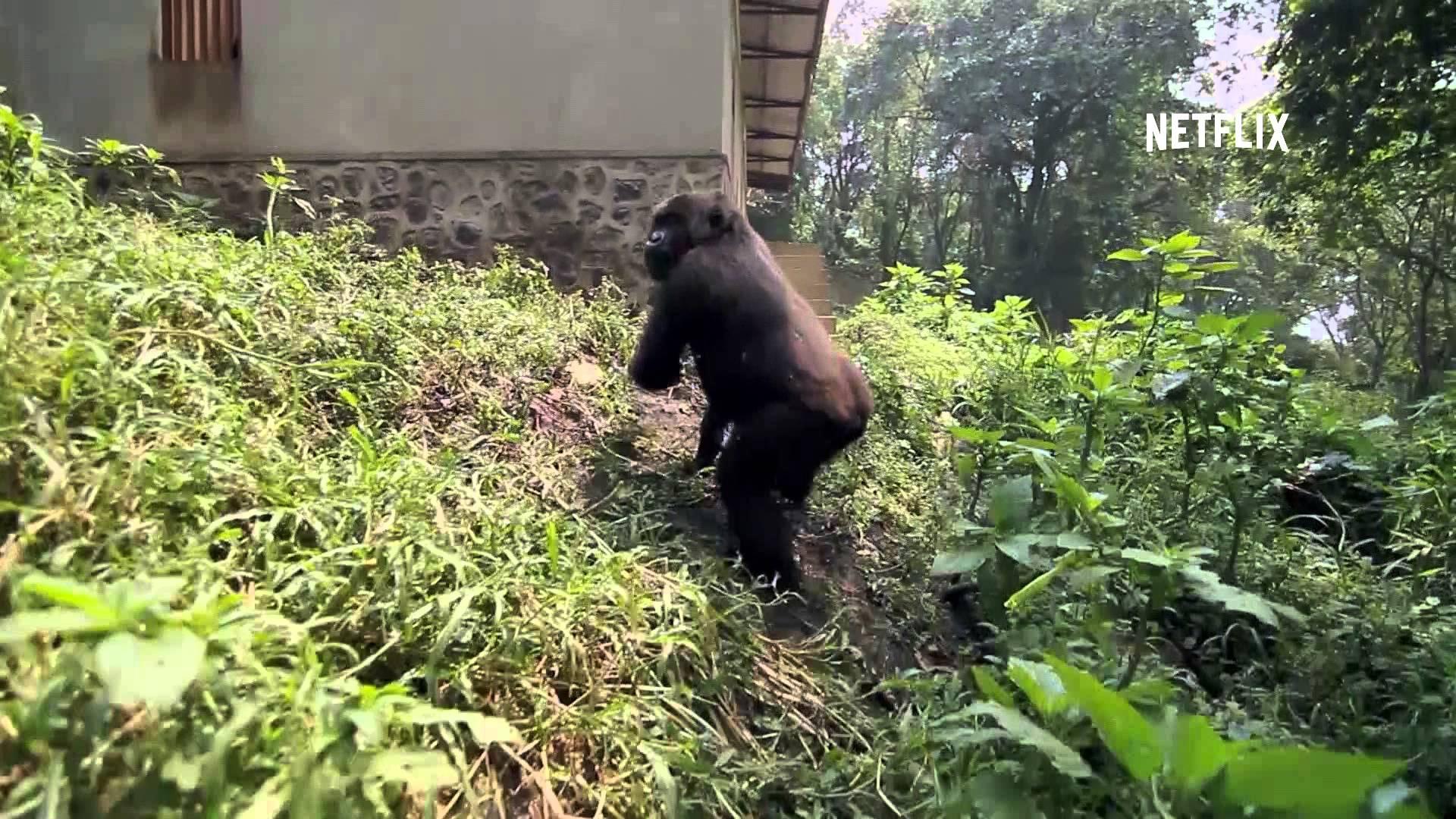 Salvare i gorilla, il documentario prodotto da DiCaprio (VIDEO)