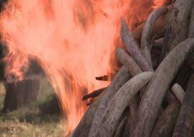 Il Kenya manda al rogo 15 t di zanne d'elefante
