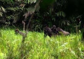 Gabon, battaglia di un fotografo a difesa dei gorilla (VIDEO)