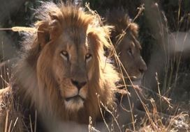 Etiopia, i leoni dalla criniera nera a rischio di estinzione (VIDEO)