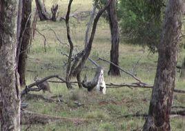 Australia, sempre più difficile esistenza canguri albini (VIDEO)