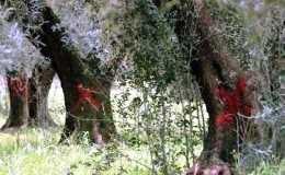Trovato ulivo infetto da Xylella in Liguria, vicino Francia