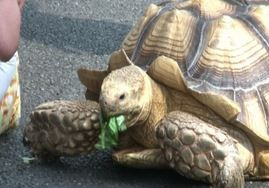Bon-Chan, la tartaruga gigante che passeggia per Tokyo