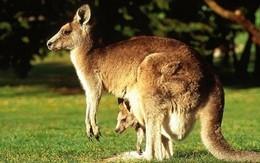 Il canguro non è solo australiano, una colonia vive in Francia