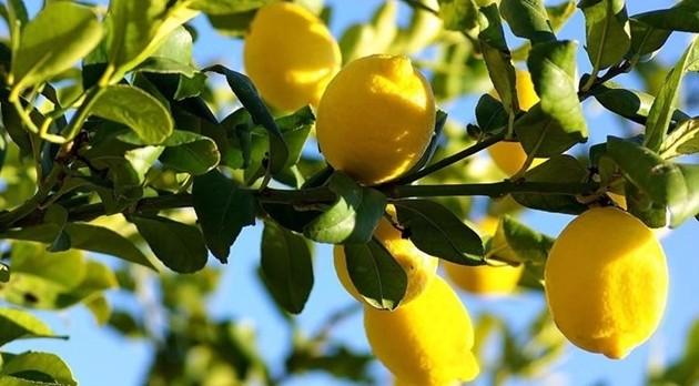 Terra dell'assurdo, compriamo i limoni dal Cile e quelli siciliani marciscono