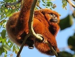 A Rio de Janeiro dopo un secolo tornano le scimmie urlatrici (video)