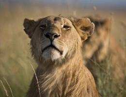 Kenya: avvelenati 8 leoni, star di una serie televisiva della Bbc (video)