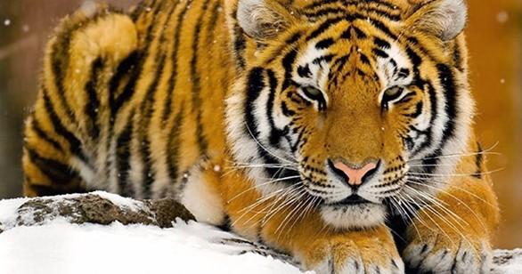 tigre dell'Amur2