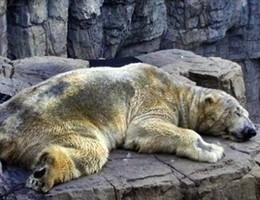 E' morto Arturo, ultimo orso polare in cattività. Aveva 31 anni