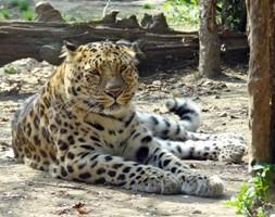 India, leopardo entra nella stanza d'albergo. Coppia sotto shock