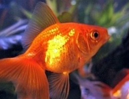 Studio scientifico, i pesci riescono a riconoscere il volto umano