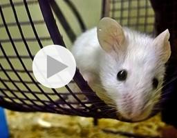 Un esercito di topi in campo contro le mine e la tubercolosi