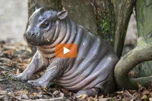 Allo zoo di Bristol nato un ippopotamo pigmeo, specie in pericolo