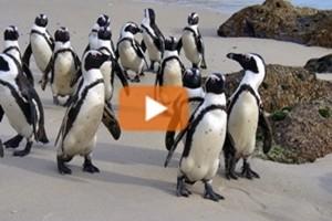 """Sudafrica, i pinguini del Capo tornano """"into the wild"""""""