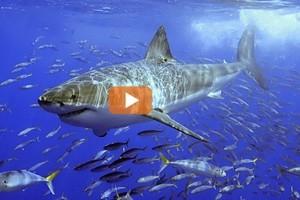 Da predatore a preda: squali a rischio, a caccia di protezione