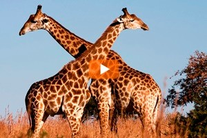 Le giraffe africane nella lista delle specie in via d'estinzione