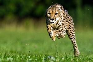 Rimasti solo 7.100 ghepardi, il mammifero più veloce al mondo a rischio estinzione