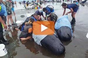 Oltre 400 balene pilota si sono arenate in Nuova Zelanda