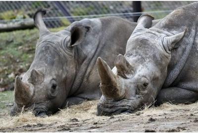 Zoo belga accorcerà corna rinoceronti dopo uccisione in Francia