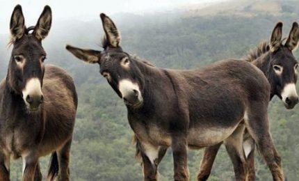Sudafrica, ora i bracconieri hanno messo nel mirino gli asini