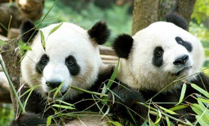 Il debutto di Wu Wen e Xing Ya, i due panda giganti star a Rhenen
