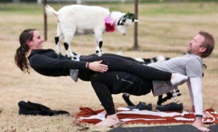 Praticare yoga con le caprette, l'ultima moda negli Stati Uniti