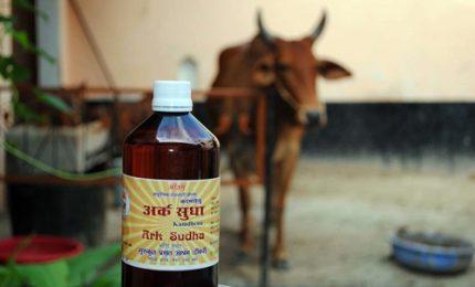 Urina di vacca? In India si usa per curare diabete e cancro