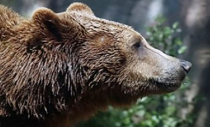 Colazione un po' troppo rumorosa, un orso marsicano entra in una casa e rimane intrappolato in un pollaio