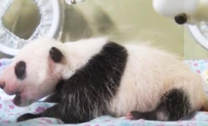 Baby panda sta bene, sopravvissuta a primo mese. Ma ancora è in incubatrice