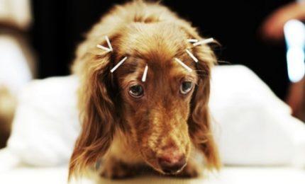 Cina, l'agopuntura per curare la paralisi dei cani