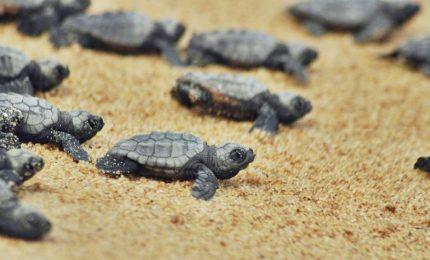 Taranto, dopo due mesi di incubazione nate 16 tartarughe 'Caretta caretta'