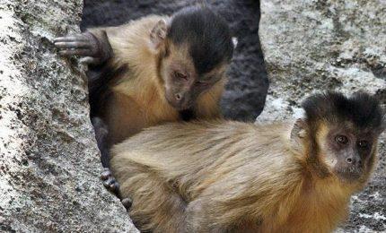 Rompere noci di palma, anche le scimmie si tramandano comportamenti tecnologici