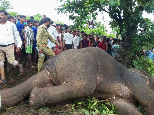 """Abbattuto elefante in India, ha ucciso 15 persone. Le autorità incaricano uno dei """"migliori cacciatori"""""""