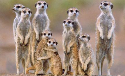 Nello zoo di Vienna i suricati giocano con il loro cucciolo