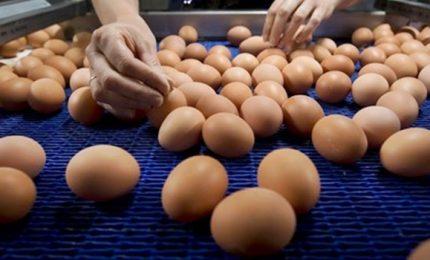Uova contaminate, anche l'Italia è coinvolta. Il ministero: risulta solo un caso. L'allarme del Codacons