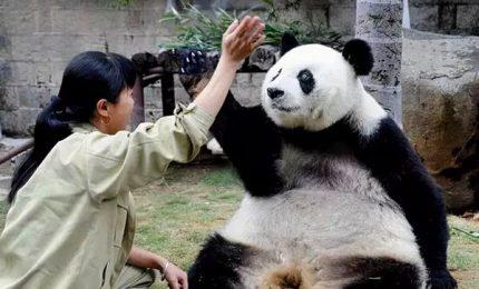 Morto Basi, il panda più vecchio al mondo. Aveva 37 anni
