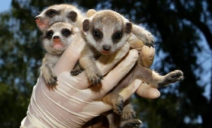 I tre adorabili cuccioli di meerkat allo zoo di Canberra