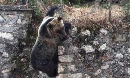 Amarena scavalca recinzione e scatena panico in città. Il problema degli orsi confidenti, salvarli dall'estinzione