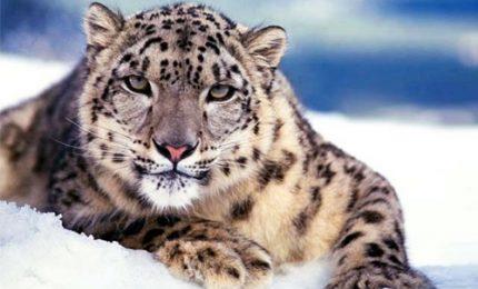 A rischio il leopardo delle nevi, proteggere specie e suoi habitat