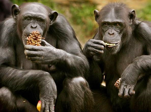 Scimpanzè verso l'estinzione, l'Europa chiede aiuto alla genetica