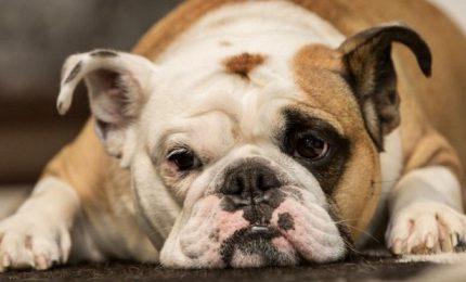 La carica dei 200 bulldog inglesi a Verona per l'Enpa