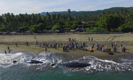 4 capodogli spiaggiati muoiono sull'isola di Sumatra