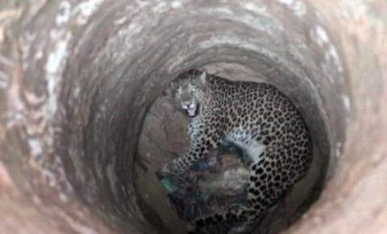 Leopardo cade in un pozzo, salvato dalla forestale