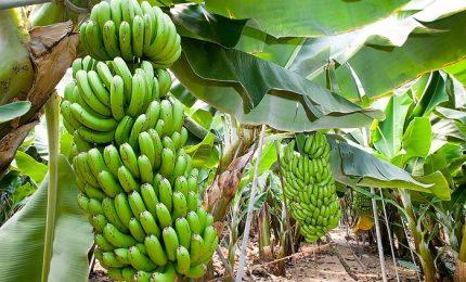Le banane a rischio estinzione, un fungo sta distruggendo radici e frutto. Scienziati a lavoro