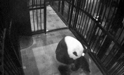 Debutta allo zoo di Tokyo la piccola di panda Xiang Xiang