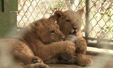 California, tre leoncini tornano finalmente dai genitori