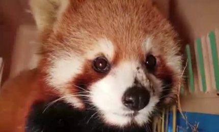 I panda rossi nel mirino dei bracconieri in Asia